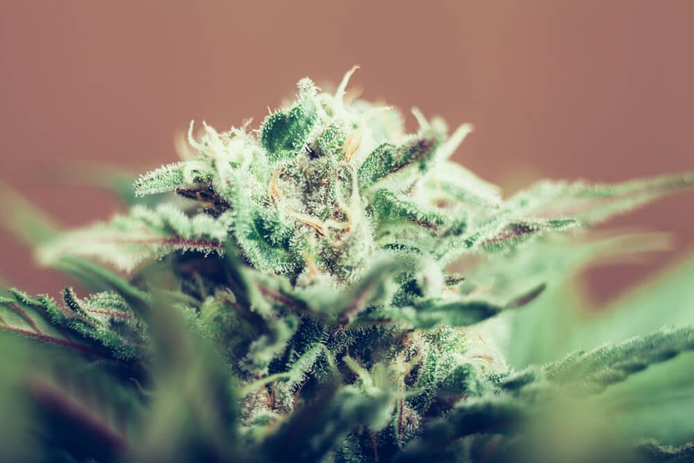 Pink Kush Cannabis Flower