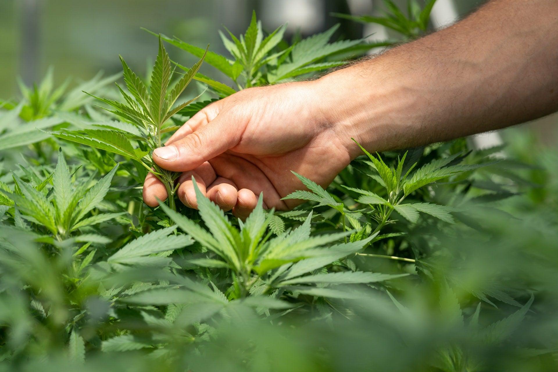 Organic Craft Cannabis