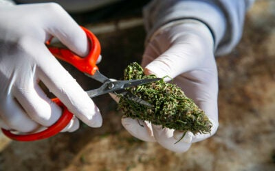 Why Buy Cannabis Trim? Know the Benefits